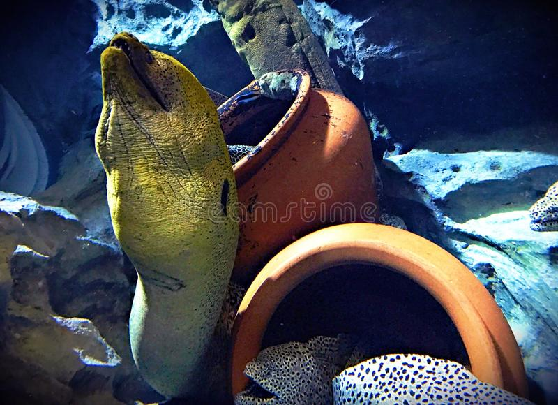 Moray eels. In the aquarium of singapore. January 2017 royalty free stock images