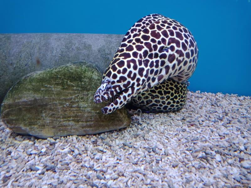 Moray Eels, como um comprimento de corpo da serpente imagem de stock royalty free