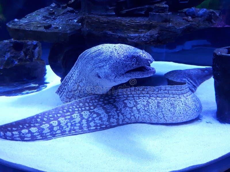 Moray in een aquarium stock afbeelding
