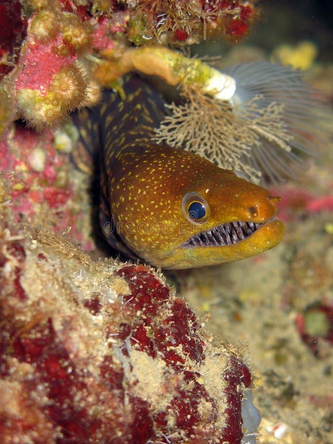 Moray en el hogar, mar Mediterráneo, cueva azul, Kekova Ä°sland imágenes de archivo libres de regalías