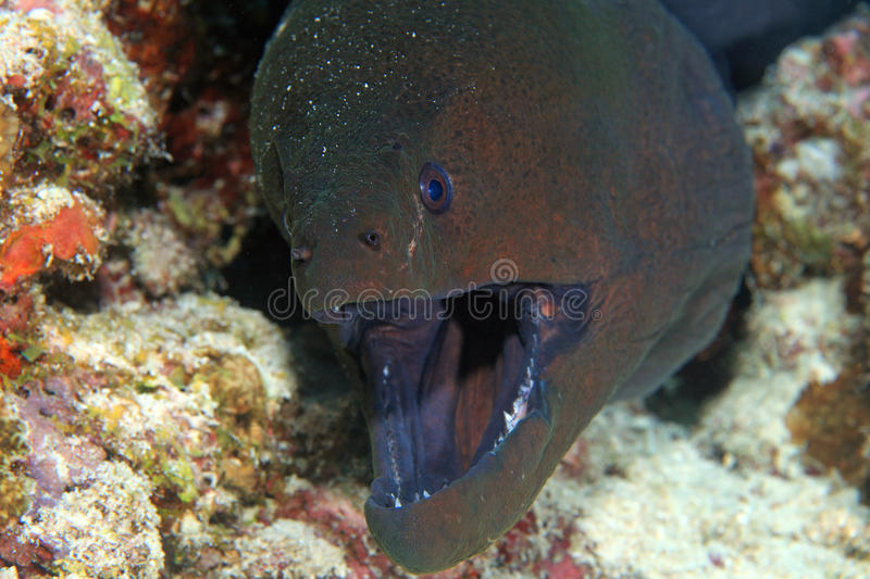 Moray gigante foto de stock