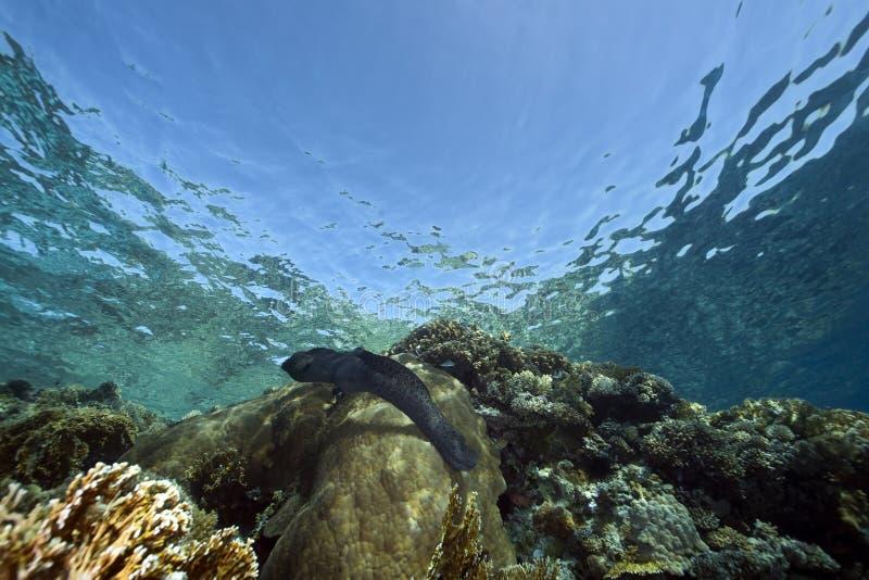 Moray gigante e oceano foto de stock royalty free