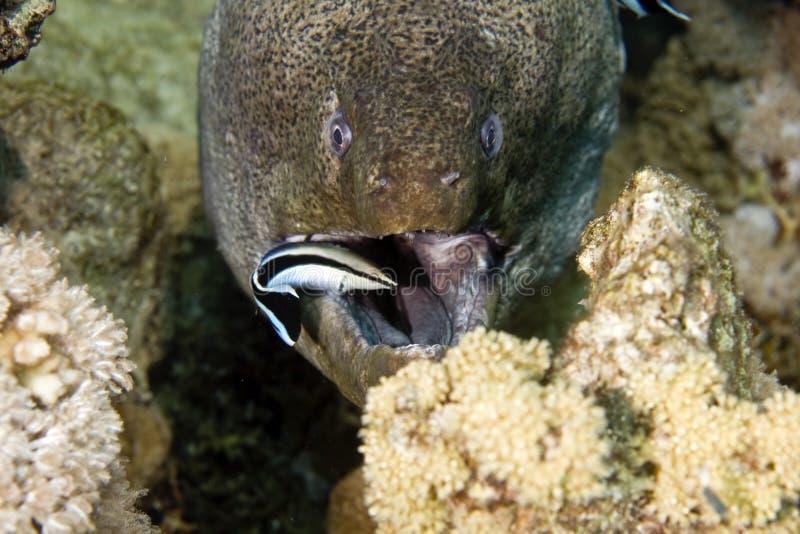 Moray gigante (javanicus do gymnothorax) e um líquido de limpeza fotografia de stock