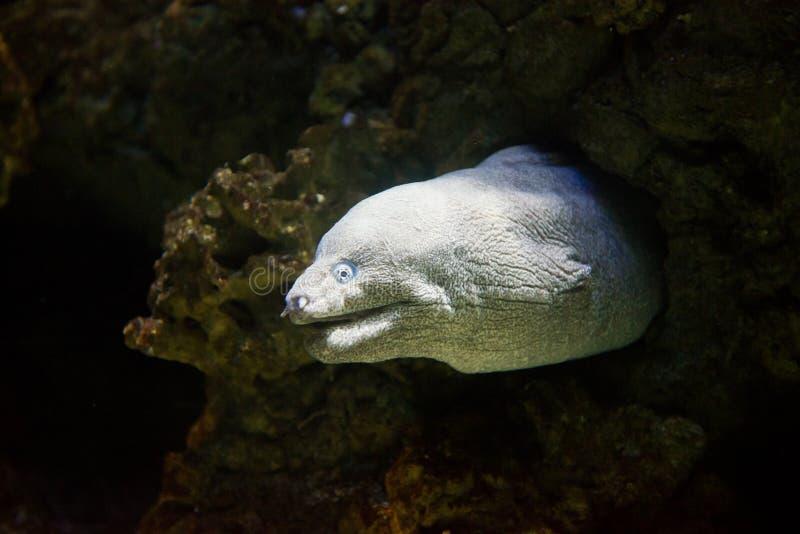 Moray mediterrâneo - Muraena helena foto de stock