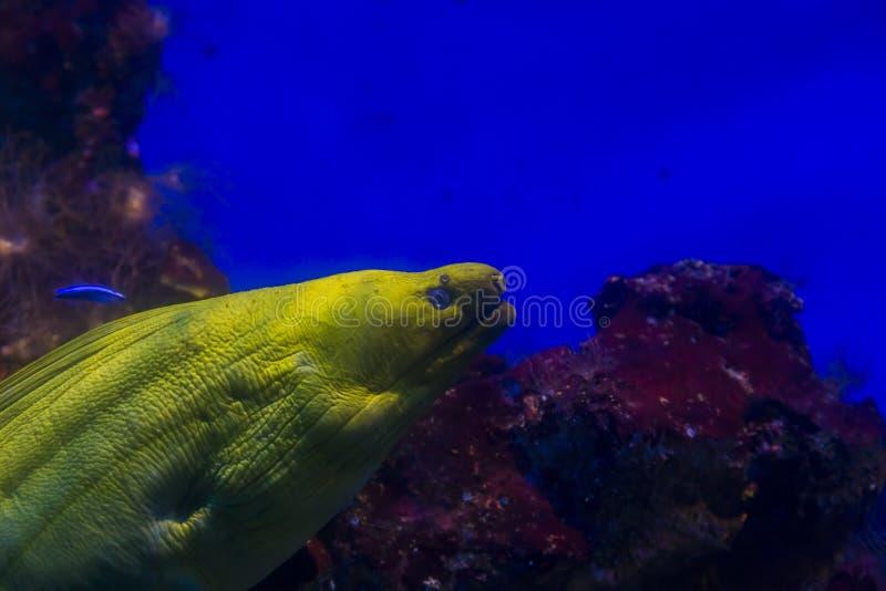 Moray nell'acquario immagine stock