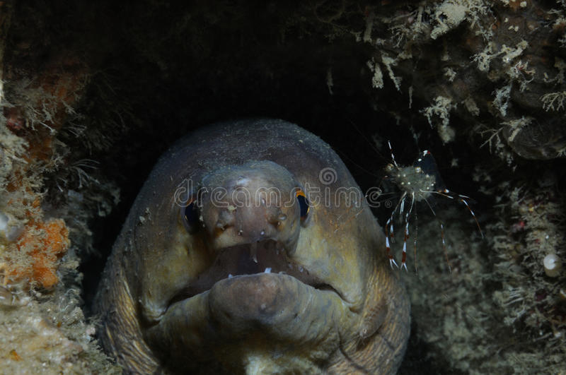Moray and shrimp. Drab moray eel with a clear cleaner shrimp and isopoda on it, Puerto Galera, Philippines royalty free stock photography