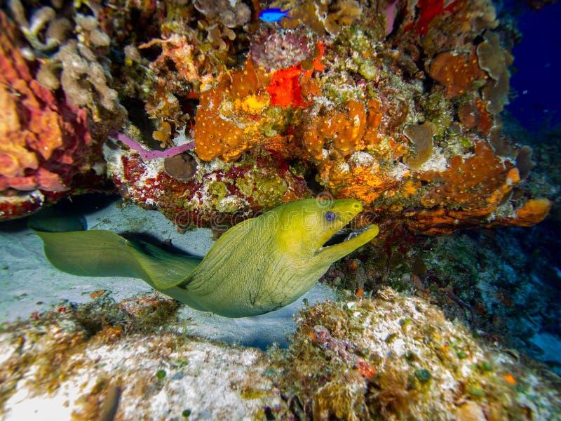 Moray Swimming verde da corallo immagini stock