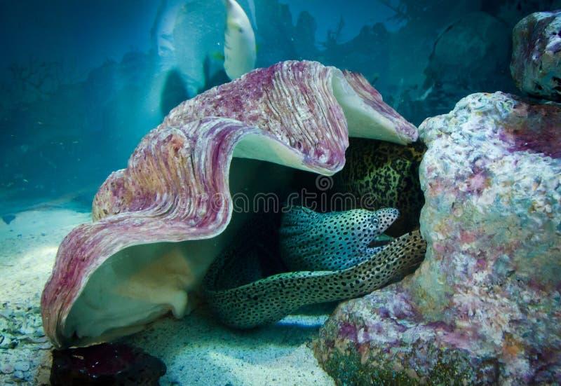 Moray under skalet, undervattens- livstid royaltyfri bild