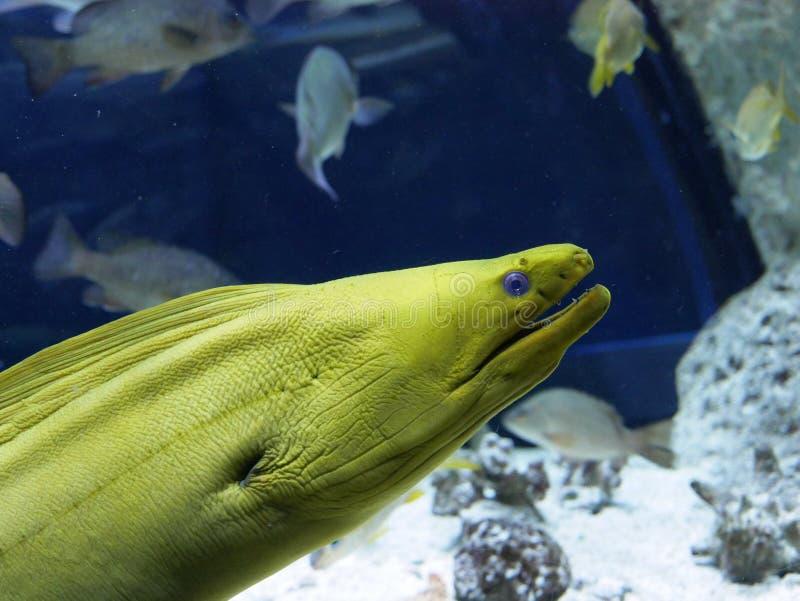 Moray verde all'acquario di Gosier in Guadalupa fotografia stock