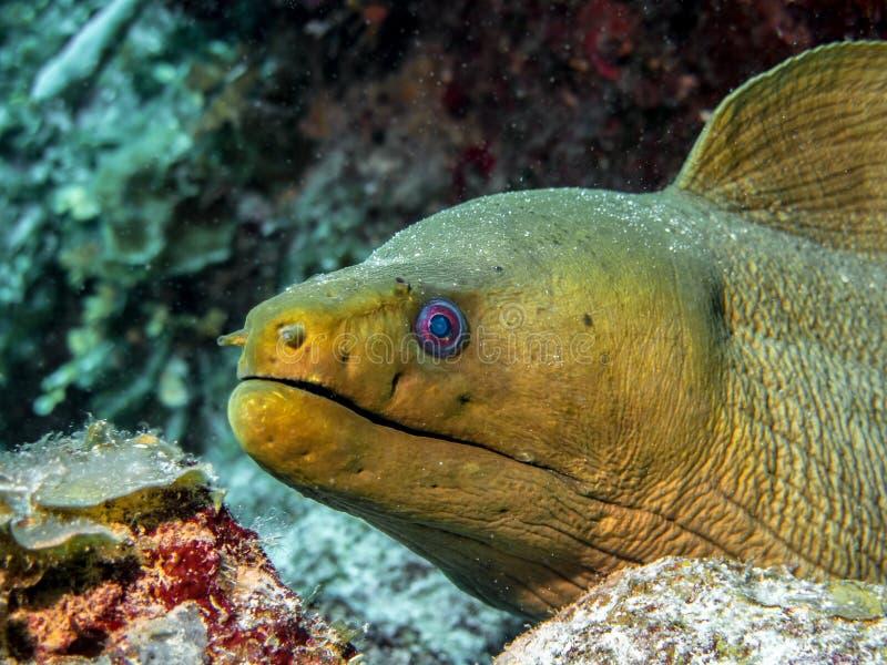 Moray verde no recife do Largo de Cayo imagens de stock royalty free