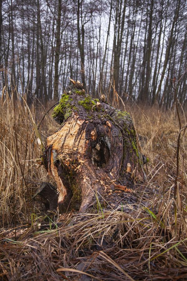 Morceau d'une coupe d'arbre par des castors photos libres de droits