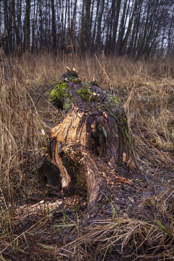 Morceau d'une coupe d'arbre par des castors photo stock