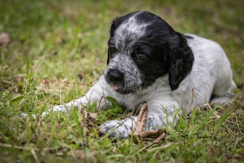 Morceau de portrait de chiot de chien d'épagneul de Bretagne de bébé, de jeu et de mordre de bois noir et blanc mignon et curieux images stock