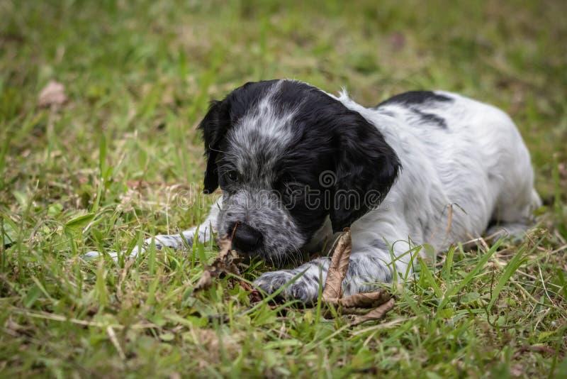 Morceau de portrait de chiot de chien d'épagneul de Bretagne de bébé, de jeu et de mordre de bois noir et blanc mignon et curieux photo stock