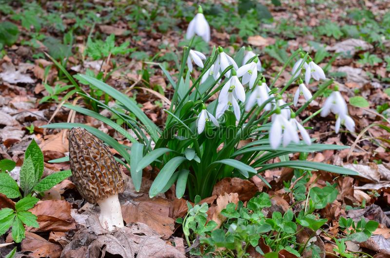 Black morel mushroom and big cluster of Snowdrops royalty free stock images