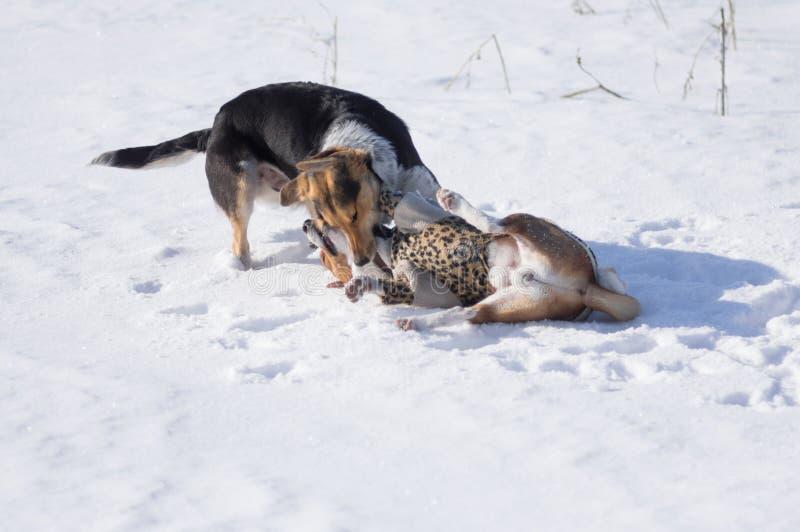 Mordeduras de perro negras de caza Basenji en el cuello foto de archivo