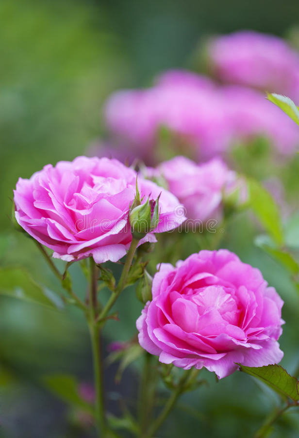 Morden Centennial Rose. This hybrid was developed in Morden, Manitoba, Canada to withstand cold Canadian winters and warm humid summers royalty free stock photo