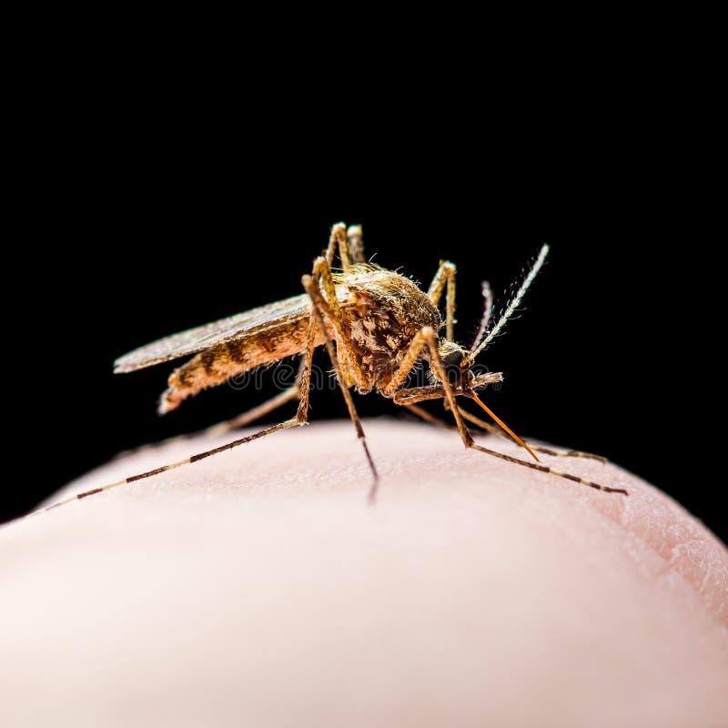 Mordida de inseto contaminada v?rus da febre amarela, da mal?ria ou do mosquito de Zika isolada no preto imagens de stock