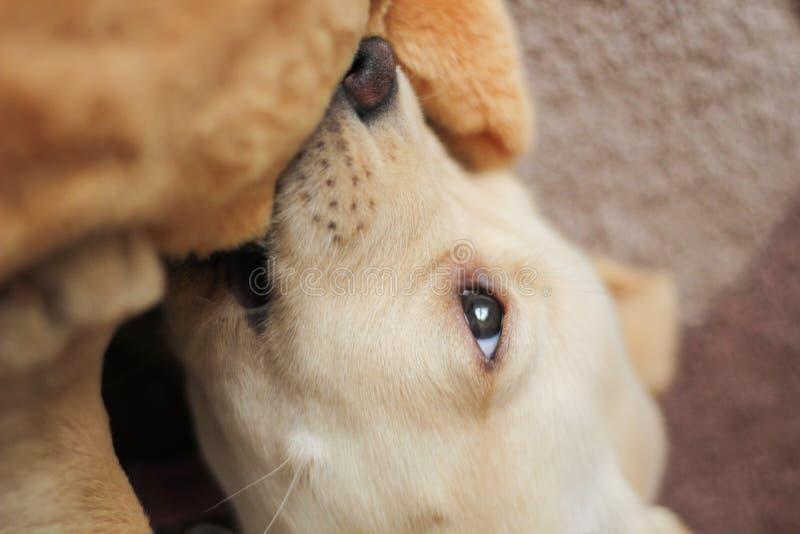 Mordre d'or mignon de chiot de Labrador photographie stock libre de droits