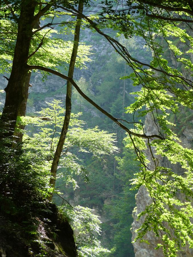 A more frugal tree. More frugal trees are growing on a crag royalty free stock image