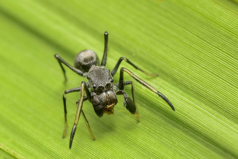 The giant ant spider in world royalty free stock image