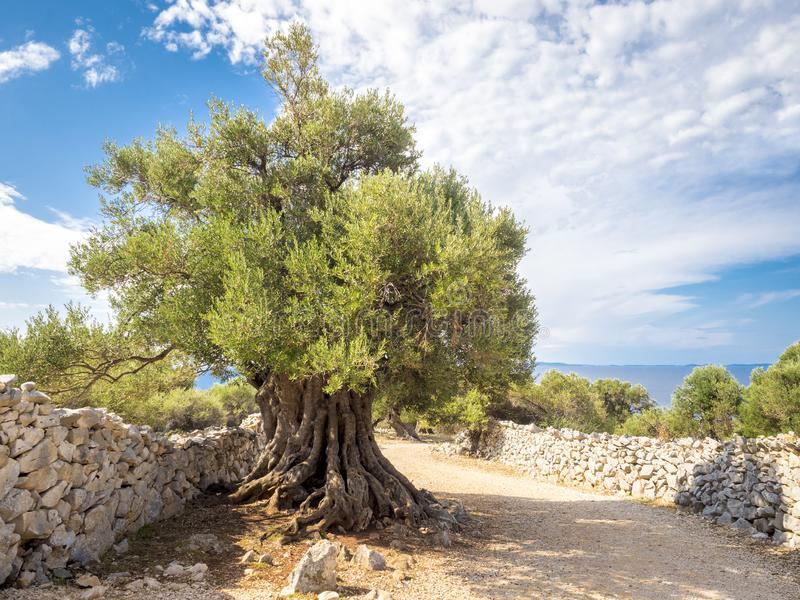 More than 1600 years old wild olive tree. In a beautiful place Lun on the island of Pag royalty free stock photos