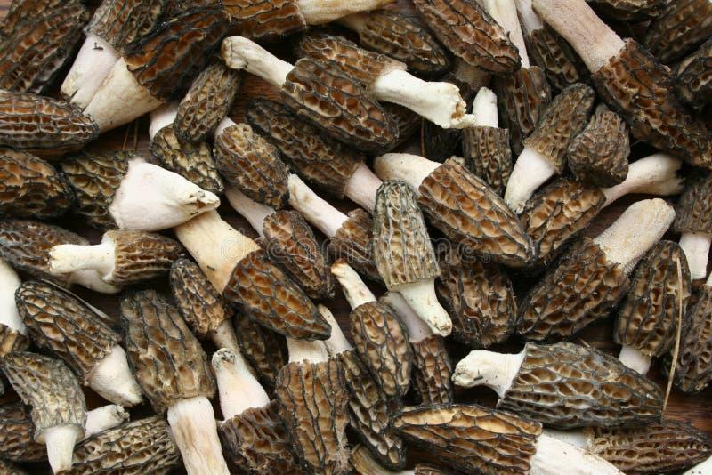 Morel. Background of many mushrooms morels stock image