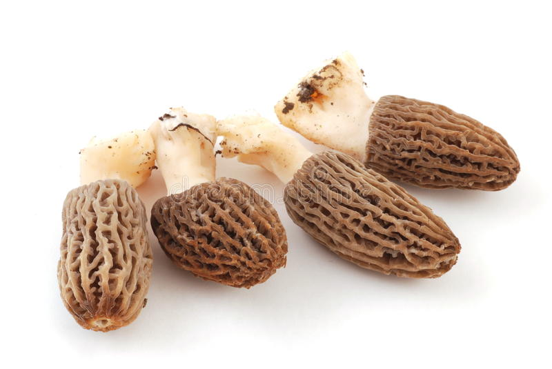Morel. Mushroom. morchella esculenta. Valuable, edible fungi stock photos