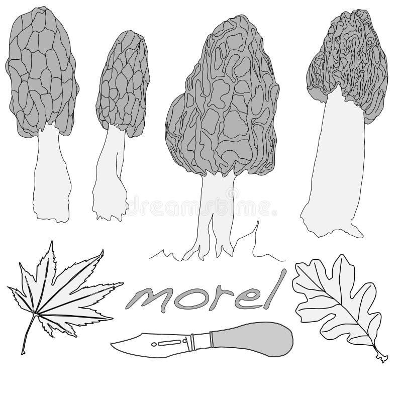 Morel, morel amarelo, morel verdadeiro e morel de esponja - mushro comestível ilustração do vetor