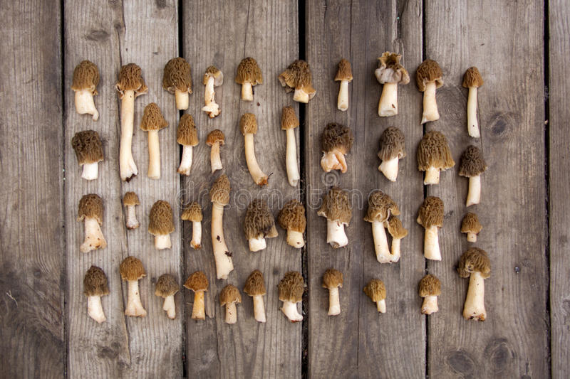 Morel edible mushrooms on wooden background. Rows of morel mushrooms on wooden background stock image