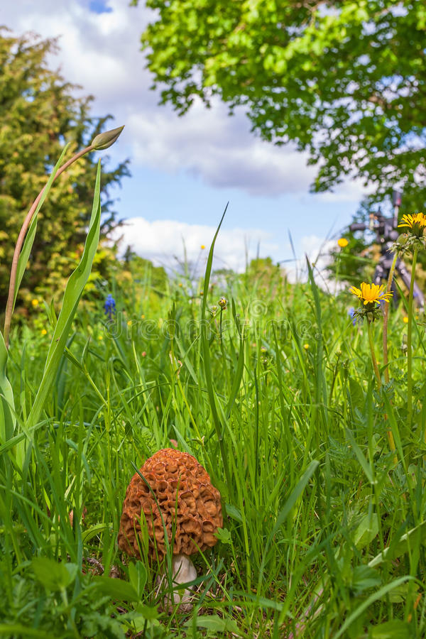 Morel growing in the grass. In the meadow stock images