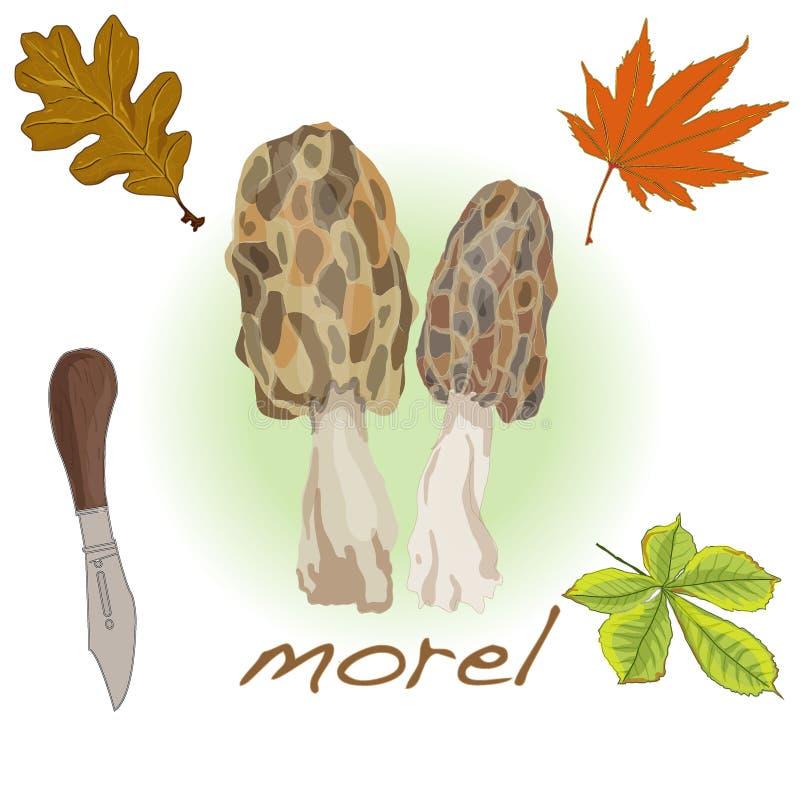 Morel, morel amarelo, morel verdadeiro e morel de esponja - mushro comestível ilustração stock