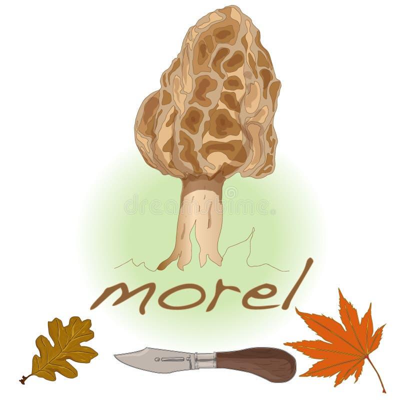 Morel, morel amarelo, morel verdadeiro e morel de esponja - mushro comestível ilustração royalty free