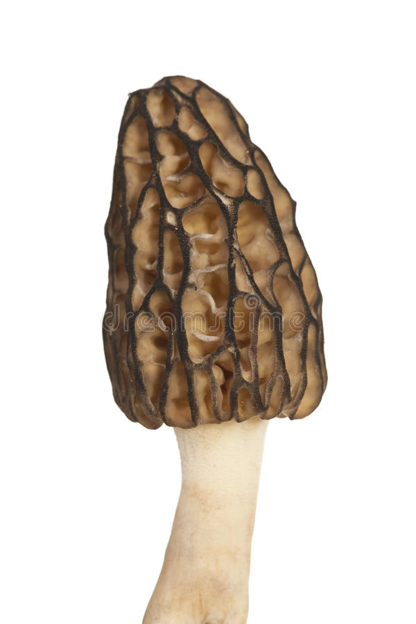 Morel mushroom. Big a morel mushroom on white background royalty free stock photography