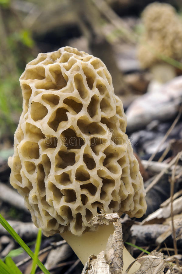 Morel mushroom. In the woods growing stock images