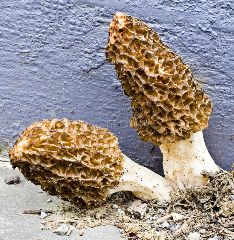 Morel Mushrooms. Large morel mushrooms growing out of the dirt between pieces of concrete. This is a wild mushroom that grows and was photographed in Virginia stock images