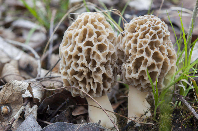 Morel mushrooms royalty free stock image