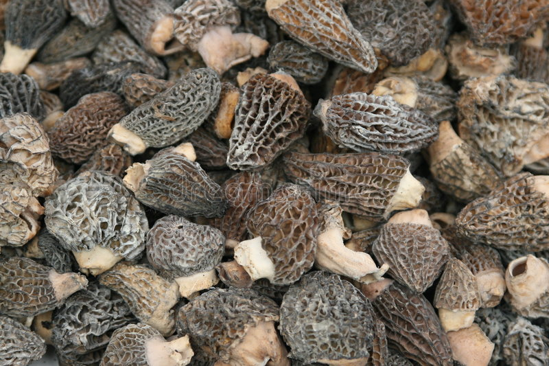 Morel Mushrooms. Pile of Morel mushrooms ready to cook stock image
