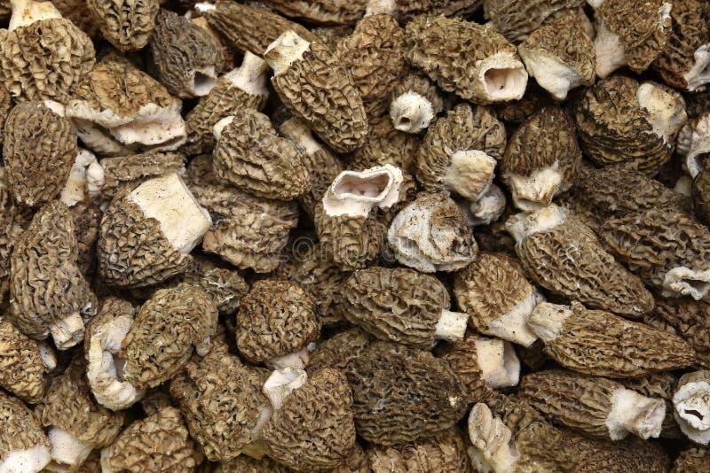 Morel Mushrooms stock photography