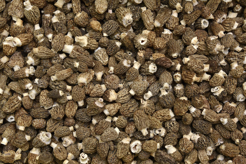 Morel Mushrooms. Close Up Of Natural Morel Mushrooms royalty free stock photo