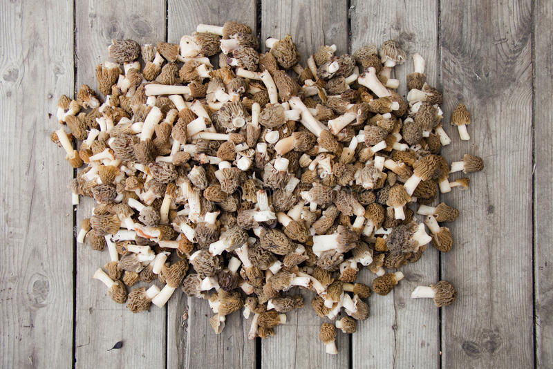 Morel mushrooms royalty free stock photography