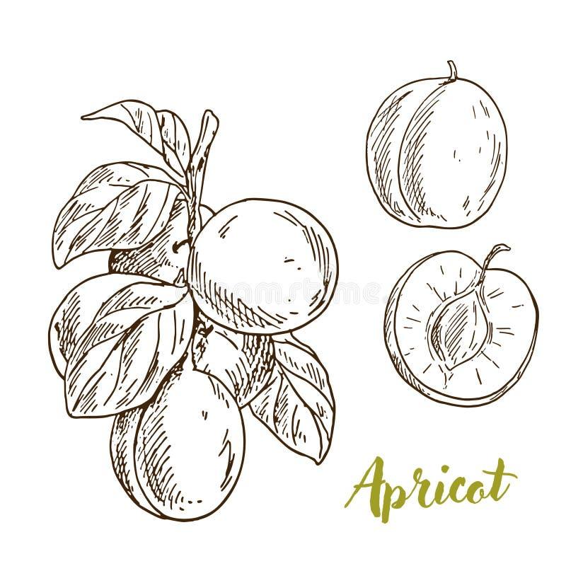 Morele, gałąź z liśćmi, połówka owoc ilustracji