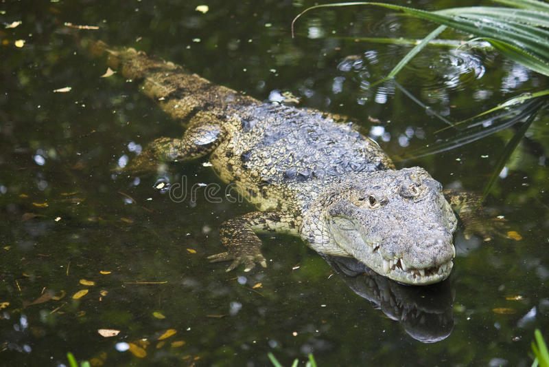 Morelets Krokodil lizenzfreie stockfotografie