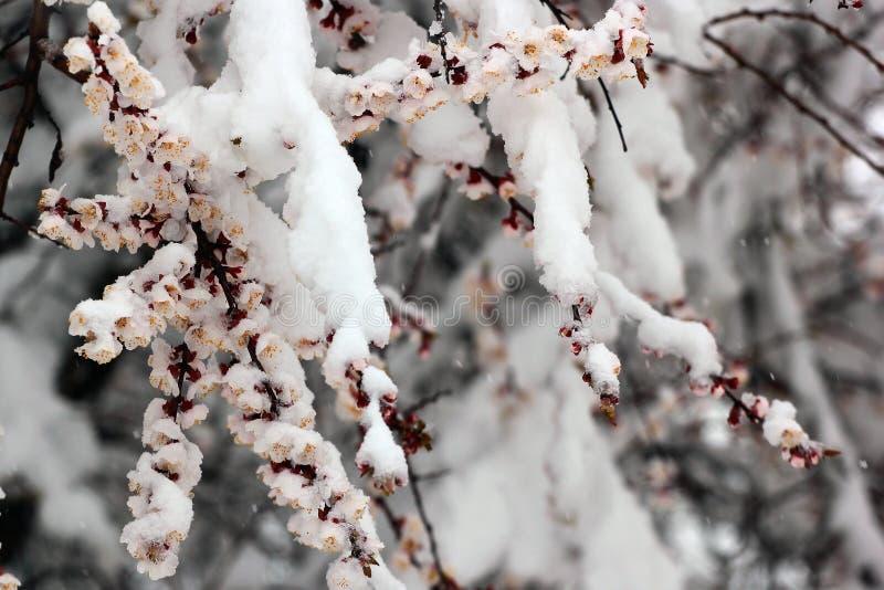 Moreli i wiśni kwiaty zakrywający z śniegiem na białym tle obrazy stock