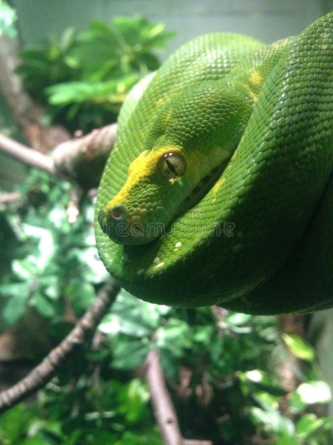 Morelia Viridis. Morelia Viridis in Bronx Zoo royalty free stock photography