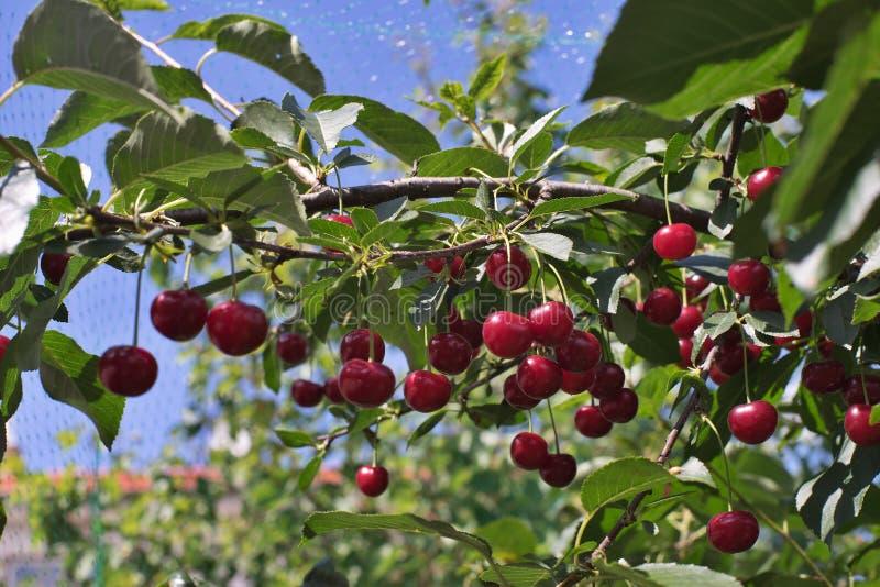 Morello или прокисает riped вишни на ручке вишневого дерева с листьями, во времени  сбора в лете в саде стоковое фото