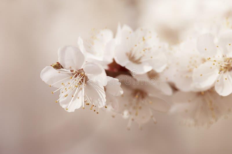 Download Morelowego drzewa kwiat zdjęcie stock. Obraz złożonej z piękny - 53781268
