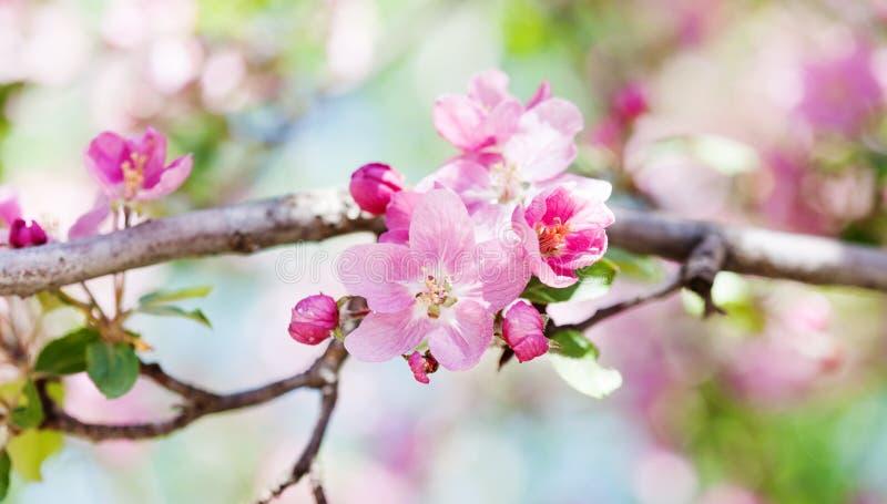 Morelowego drzewa kwiatu okwitnięcia makro- widok Kwitnący różowych płatków owocową gałąź, składa zamazanego bokeh tło obrazy stock