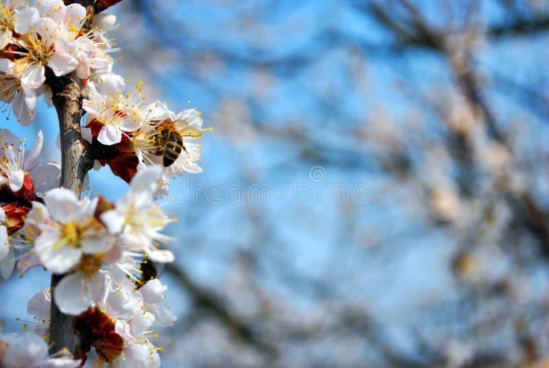 Morelowego drzewa okwitnięcia kwiaty zamknięci w górę szczegółu na niebieskiego nieba tle zdjęcia royalty free
