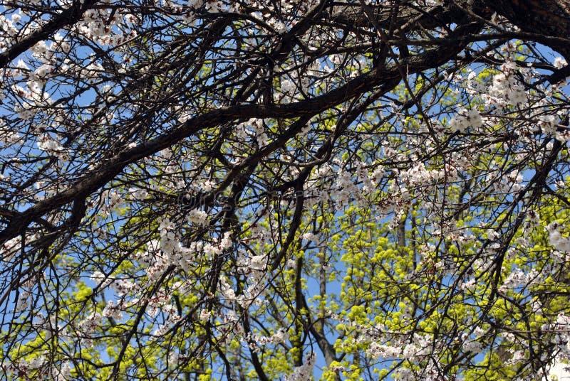 Morelowego drzewa okwitnięcie na srebnym klonowego drzewa zieleni okwitnięciu i błękitnym wiosny niebie zdjęcia royalty free